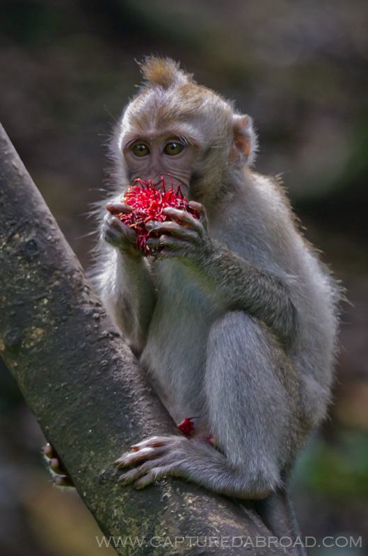 Monkey eating lychee in sanctuary in Ubud, Bali