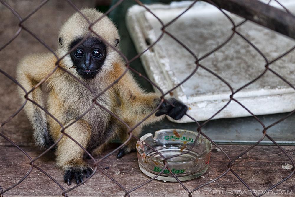 Monkey business - Vientiane