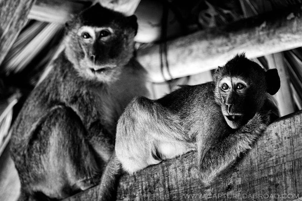 Black and white monkeys