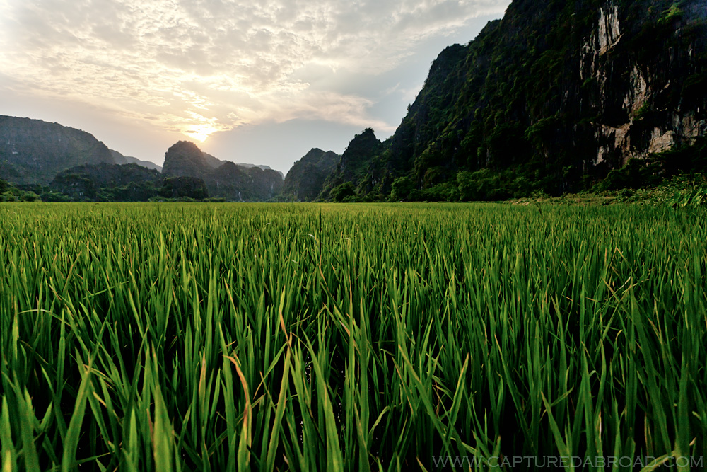 Rice field, vietnam