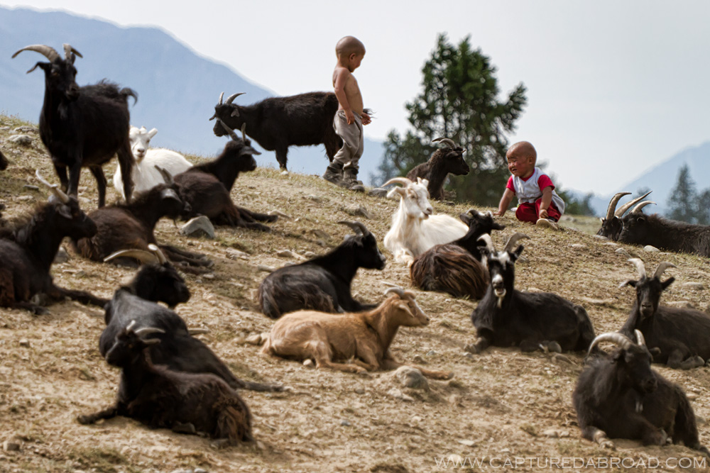 Goats and kids on a hill in the Khurgan Nuur lakes region