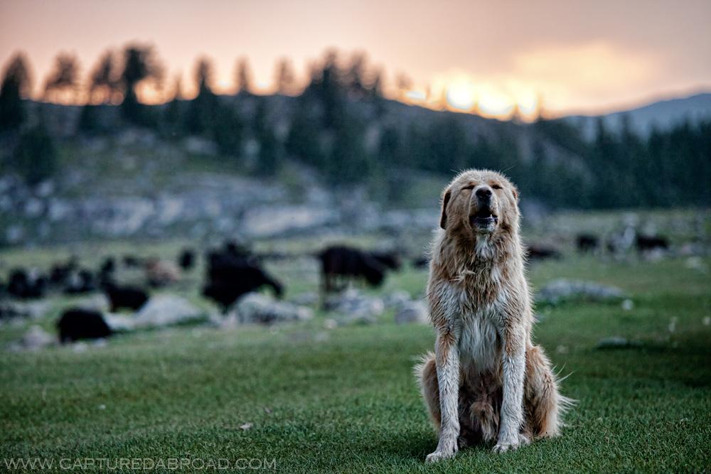 Dog howls alongside the Khurgan Nuur, Altai Tavan Bogd
