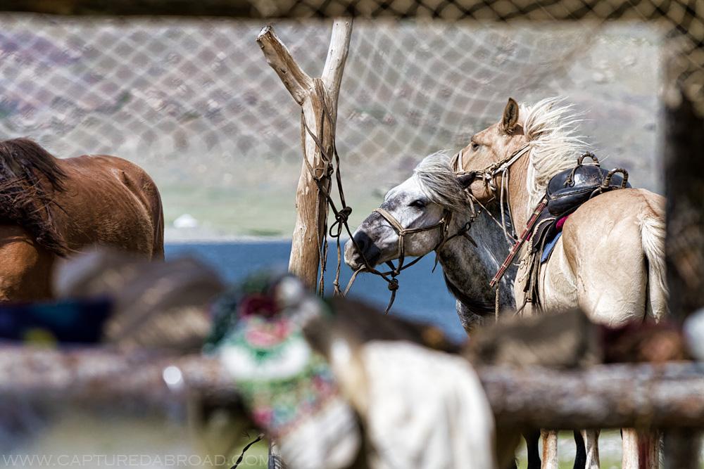 Horses play around the Khurgan Nuur lake, Mongolia