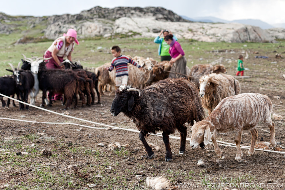 Goat milk, khurgan nuur Mongolia Bayan-Ölgii