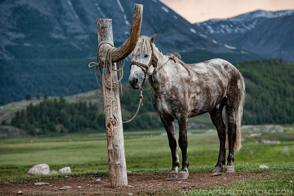 Black and silver horse tied up to a post, mongolia