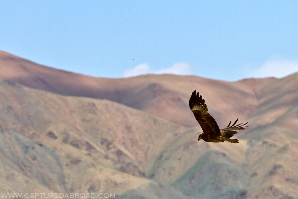 Eagle flying in front of mountains western Mongolia