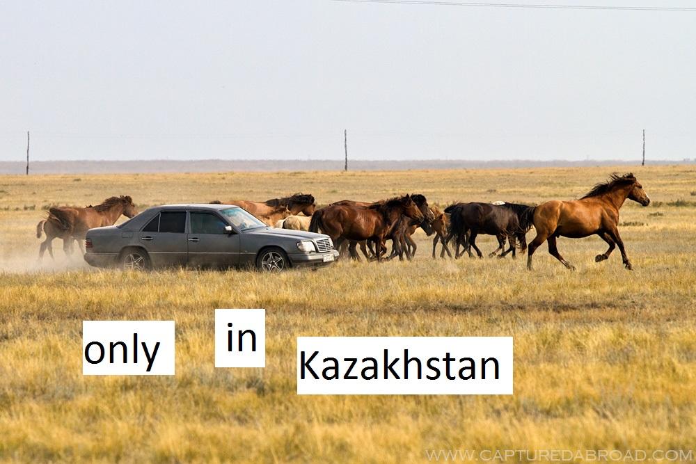 Herding horses - Korgalzhyn State Nature Reserve